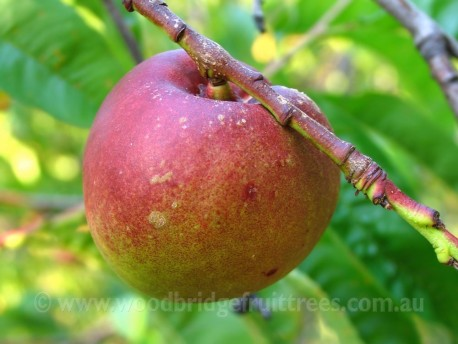 Goldmine Nectarine