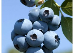 Blueberry Brigitta