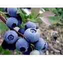 Blueberry Denise