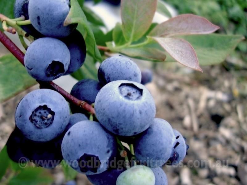Blueberry Denise Woodbridge Fruit Trees