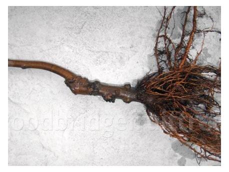 Apple Rootstocks (Dwarfing M26)
