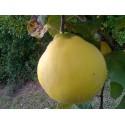 Appleshaped