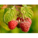 Raspberry Chilcotin Pack