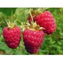 Raspberry Chilliwack Pack