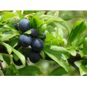 "Sloe  ""Blackthorn"""