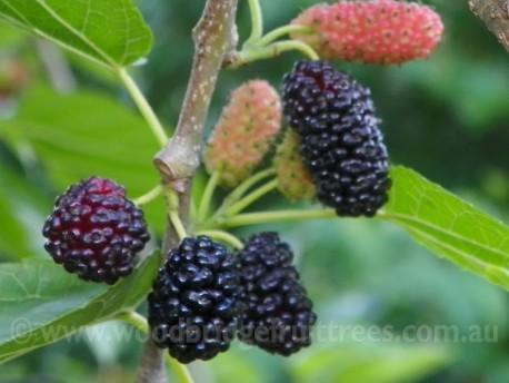 Black English Mulberry