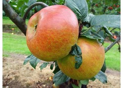 Blenheim Orange Dwarfing