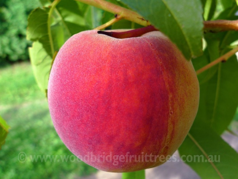 Redhaven Peach Woodbridge Fruit Trees