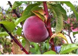 Fragar Peach