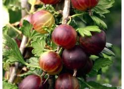 "Gooseberry ""captivator"""