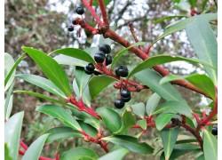 Tasmanian Pepperberry - FEMALE