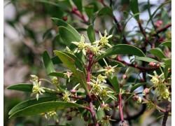 Tasmanian Pepperberry - MALE