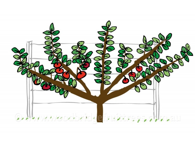 Fan Espalier Woodbridge Fruit Trees
