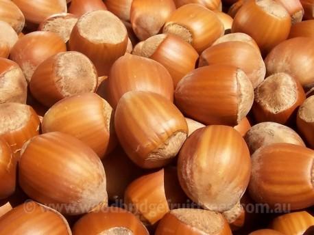 Barcelona Hazelnut