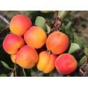 Moorpark Apricot DWARFING
