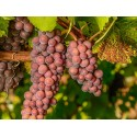 Pinot Grigio grape