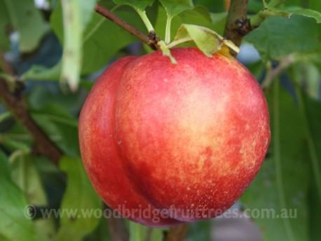 Flavourtop Nectarine DWARFING