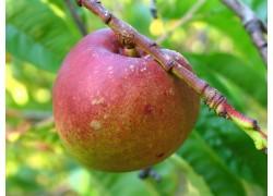 Goldmine Nectarine DWARFING