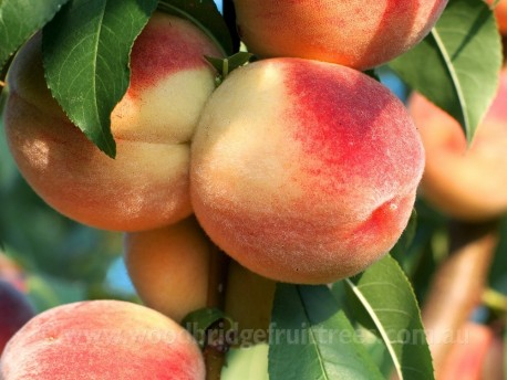 White Gold Peach DWARFING