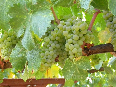 Sauvignon Blanc grape