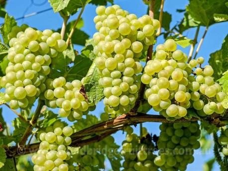American Gold Grape