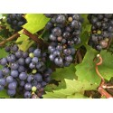Black Muscat Hamburg grape