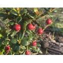 Myrtus Berry (chillean guava)