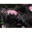 "Elderberry ""Black Lace"""
