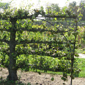 Old espaliered pear tree