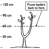 After planting, prune the baby tree back to 30cm above the graft