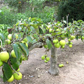 Step Over Apples Woodbridge Fruit Trees