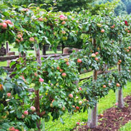 Apple tree espalier