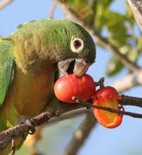 Parrot eating a plum