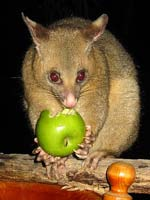 Possums love apples